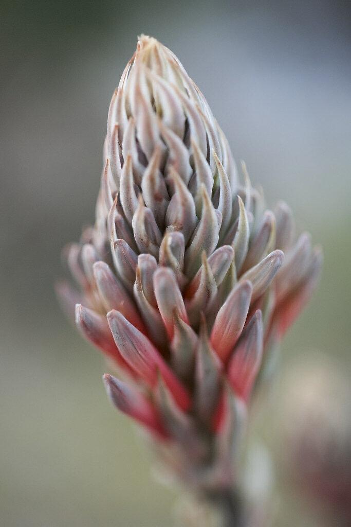 Candelabra Aloe